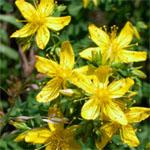 Echtes Johanniskraut (Hupericum perforatum) Familie der Hypericaceae (früher Hartheugewächse)